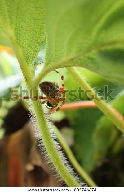 cross orb weaver spider on garden plant