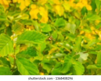 Cross Orb-weaver (Araneus diadematus) is an orb-weaver spider found in Europe and North America.