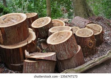 Cross section of cedar tree