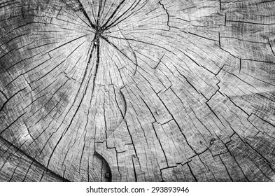 Cross section of a chainsawed tree trunk  with circles in black and white