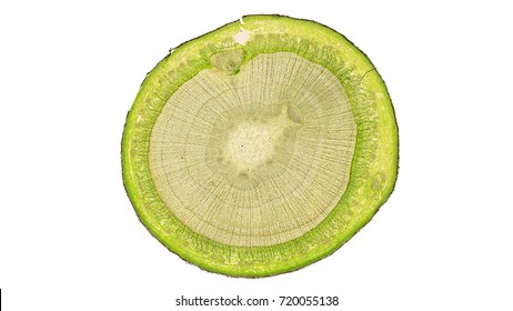 cross section cut of a plant stem aunder the microscope