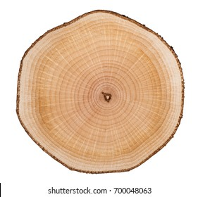 Cross section of hazel grove tree trunk showing growth rings isolated on white background.