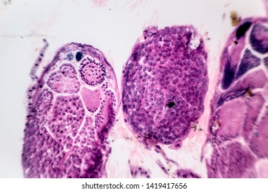 Cross section of meiosis under the microscope