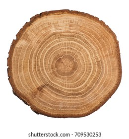 Cross section of oak grove tree trunk showing growth rings isolated on white background.