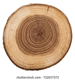 Cross section of oak grove tree trunk showing growth rings isolated on white background