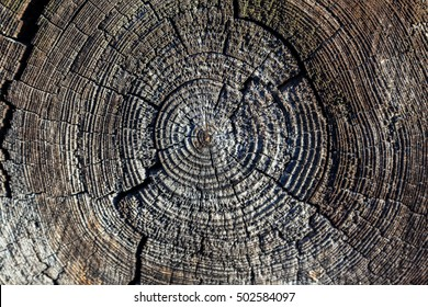 A cross section of the old tree