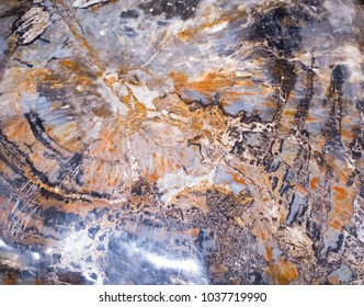 Cross section of petrified wood, fossilized remains of a tree turned to stone by the process of permineralization in which organic materials are replaced by silicates such as quartz