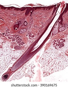 Cross section of the tissue human in the microscope view