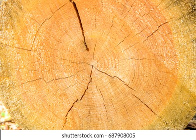 cross section of the tree