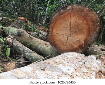 Cross section of a tree trunk freshly chopped down in a tropical rainforest.