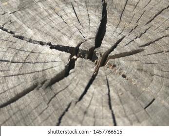 Cross section of tree trunk. Top surface of a cut stump. Old stump. Porubanny stump.