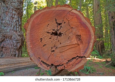 Cross Section View of a Coastal Redwood Tree in the Stout Grove of Redwoods National Park in California
