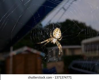 Cross spider (Araneus diadematus) lurking for prey at her net at night.