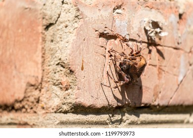 Cross spider sitting on a brick wall (Araneus diadematus)