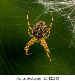 Cross Spider in web Araneus diadematus