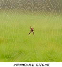 Cross Spider in web (Araneus diadematus)