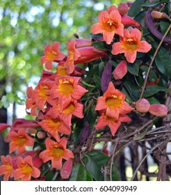 Cross vine variety, Tangerine Beauty