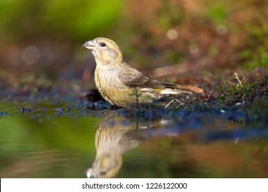 Crossbill drinks from a pond, the Netherlands