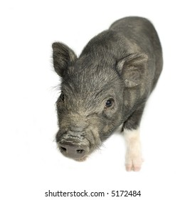 cross-bread vietnamese potbellied pig with wild boar in front of a white background