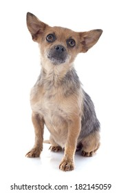 crossbred chihuahua in front of white background