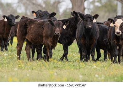 Crossbred commercial beef calves lined up in a spring pasture.