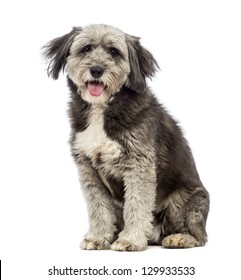 Crossbreed, 4 years old, sitting, panting and looking at the camera in front of white background
