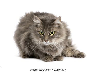 Crossbreed angora cat and european cat (9 years)
