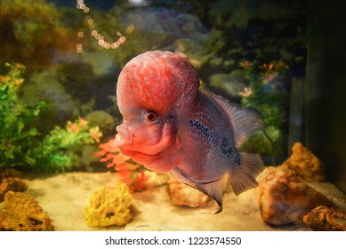 crossbreed cichlid fish / colorful red crossbreed cichlid pet fish male beautiful fish louhan  Cichlidae -flowerhorn swimming fish tank underwater aquarium