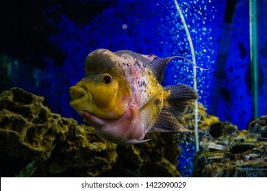 Crossbreed cichlid fish. King Kamfa Flowerhorn Fishes In Asia.Flowerhorn cichlids are ornamental aquarium fish.Underwater life. Coral reef, fish, colorful plants in ocean.
