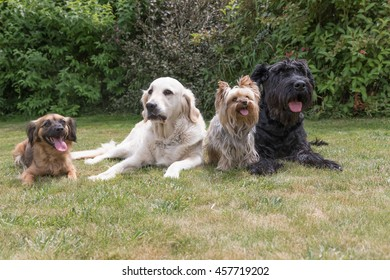 Crossbreed dog, Giant Black Schnauzer, Yorkshire Terrier and Golden Retriever dogs are lying on the lawn.