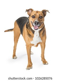 Crossbreed medium size dog with happy and smiling expression standing on white and looking at the camera