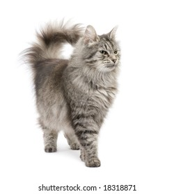 Crossbreed Siberian cat et persian catin front of a white background