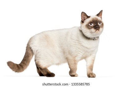 Crossed cat in front of white background