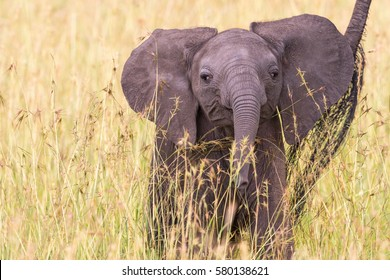 Cross-Eyed Elephant calf standing in the grass