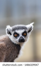 Cross-eyed lemur face. Funny animal meme image. Ring-tailed lemur looking at camera with crossed eyes. Daft expression on this cute animal.