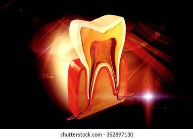 Cross-section of an adult human molar tooth