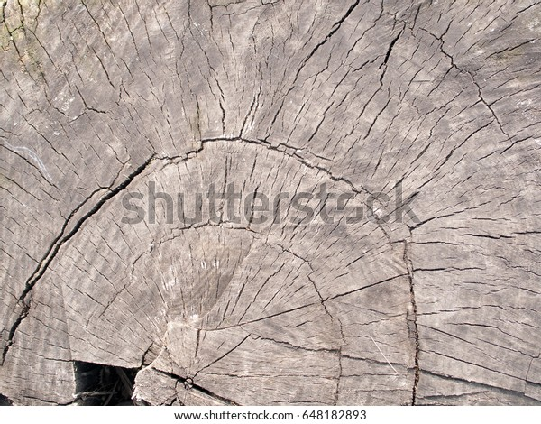 A cross-section of the huge tree old trunk, may be used as background