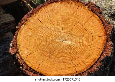 Cross-section of a larch tree close-up.