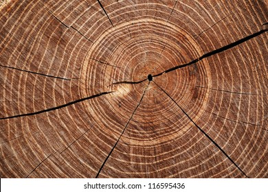 Cross-sectional view through the cut end of a log showing the concentric pattern created by the growth rings