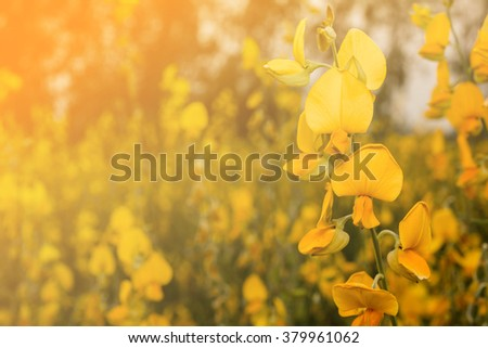 Crotalaria flower on sunset on soft color filter for background.