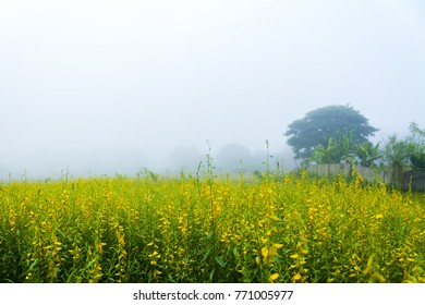 Crotalaria shrubs in field with foggy sky in the morning