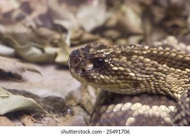 Crotalus adamanteus Eastern Diamondback Snake Head