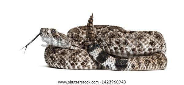Crotalus atrox, western diamondback rattlesnake or Texas diamond-back, venomous snake against white background