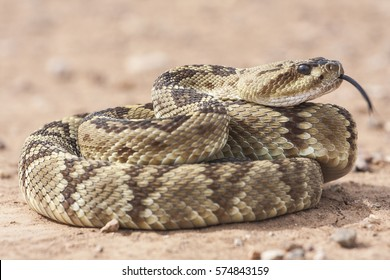 Crotalus molossus is a venomous pit viper species found in the southwestern United States and Mexico. Common names: black-tailed rattlesnake, green rattler, Northern black-tailed rattlesnake.