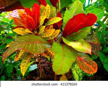 Croton. Colorful Croton Leaves. Croton plant. - Shutterstock ID 411378265