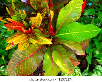 Croton. Colorful Croton Leaves. Croton plant. - Shutterstock ID 411378274