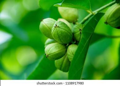 Croton oil plant, Purging Croton (Scientific name : Croton tiglium L.)