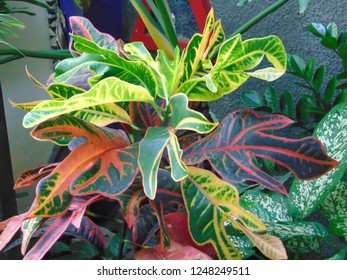 Croton/Puring (Codiaeum variegatum) is a garden ornamental plant that is popular in the form of shrubs with various shapes and colors of leaves. - Shutterstock ID 1248249511