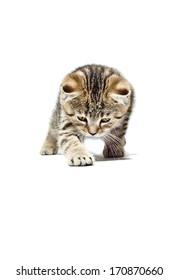 Crouching Kitten Scottish Straight breed isolated on white background