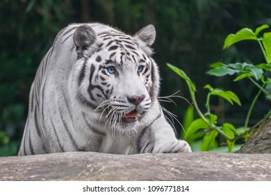 Crouching Tiger albino with blue eyes